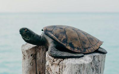 Soneva Jani is Seeing Turtles